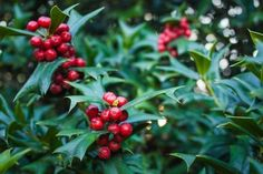 Propagating Holly Shrubs from Cuttings Holly Berries, Red Berries, Evergreen Hedging Plants, Shrubs, Plant Cuttings, Propagation, Holly Shrub, Lantana Camara, Rip Current