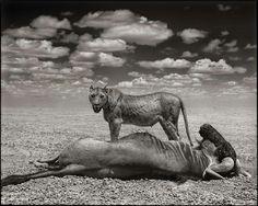 Lion & Wildebeest by Nick Brandt