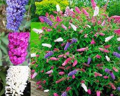 NIEBIESKI ZIMOZIELONY PRUSZNIK VICTORIA SADZONKI - 7847277382 - oficjalne archiwum Allegro Victoria, Plants, Flora, Plant