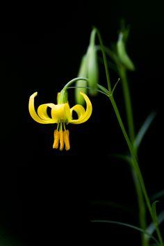 Yellow Slimstem lily - by Lee Inhwan