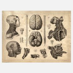 Anatomy Head  Originally drawn by Andreas Vesalius, an anatomist, physician and author of one of the most influential books on human anatomy, De Humani Corporis Fabrica, or, On The Fabric Of The Human Body.
