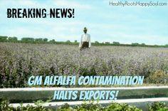 Breaking News! GM Alfalfa Contamination Halts Exports!