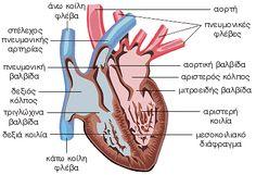 Καρδιά - εσωτερική άποψη My Job, Anatomy, Nursing, Anatomy Reference, Breastfeeding, Nurses, Artistic Anatomy