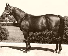Citation (April 11, 1945–August 8, 1970) was the eighth American Triple Crown winner, and one of three major North American Thoroughbreds (along with Cigar and Zenyatta) to win at least 16 consecutive races in major stakes race competition. He was the first horse in history to win one million dollars.