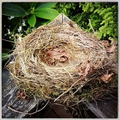 A pretty little Robin's nest after the family grew up and moved away.