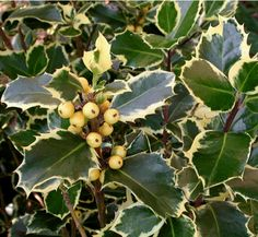 """Arbustos: Ilex aquifolium, """"Aureomarginata"""""""