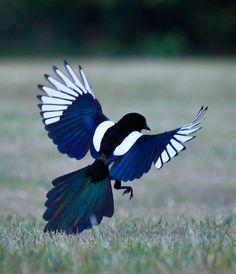 Imagen insertada /BIRD- MAGPIE
