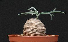 Trochomeria polymorpha