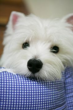 If ever I got a small dog, it would be a West Highland White Terrier... …