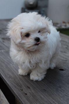 Maltese puppy chloe