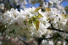 Körsbärsblom/Cherry Blossom. Photo: Camilla Sandén