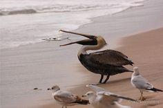Pelican Lunch