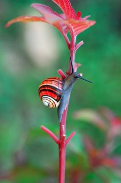 Are these not the most breathtakingly beautiful snails you've ever seen?? They're called Painted Snails or Cuban Land Snails (Polymita picta) and so they are appropriately found in Cuba. All of these stunning photos were taken by Flickr
