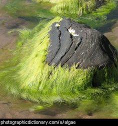Photo of algae on a rock.