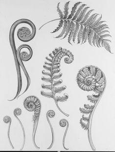 Laura Zindel original fern illustration - New Site Botanical Tattoo, Botanical Drawings, Botanical Prints, Tattoo Main, Botanisches Tattoo, Tattoos Skull, Sleeve Tattoos, Key Tattoos, Foot Tattoos