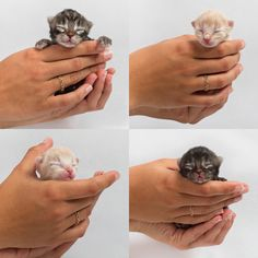 Kittens face the highest rate of euthanization in the United States. Neonatal kittens are euthanized by the hundreds of thousands every year due to lack of proper care training in shelters. Sign this petition to urge the implementation of a program to save shelter kittens from certain death.