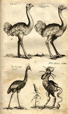 Jonston, Jan: Historiae Naturalis De Avibus Libri VI. - Frankfurt <Main>: Merian, 1650.