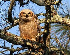 Great Horned Owlet | da minds-eye
