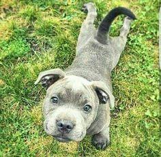 Pibble Puppy