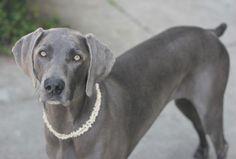 Weimaraner - Dog Breed Details - PetHarbor