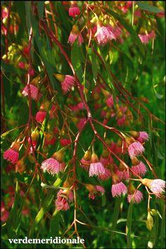 Eucaliptus leucoxylon