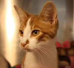 Petango.com – Meet Stevie, a 5 months 15 days Domestic Shorthair / Mix available for adoption in VALLEY FALLS, KS