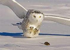 buho nival habita en zonas humedas y frias como la tundra. Su gran pelaje blanco le protege del frio que hace en su habitat natural