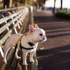 The major breeds of bulldogs are English bulldog, American bulldog, and French bulldog. The bulldog has a broad shoulder which matches with the head. French Bulldog Clothes, French Bulldog Puppies, French Bulldogs, Cute Puppies, Cute Dogs, Dogs And Puppies, Baby Animals, Cute Animals, Bullen
