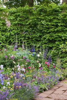 Flower perennial bed with nepeta, delphinium, iris, allium, lavandula in purple, blue and pink tones, with stone walkway or patio, and privacy hedge hedging shrub, mixture of roses, hedge wall, pathway, melianthus, vairety of cottage garden plants intermingled and rambling together