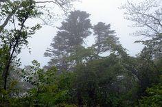 """Кедры в тумане (заказник """"Леопардовый""""). © М. А. Кречмар (http://kiowa-mike.livejournal.com/). #Cedar #Cedars #Tree #Trees #Mist #Mists"""