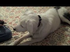 Vibration collar training for a deaf dog.
