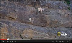 Rock-Climbing Goats! How do they do that?? Click the link to watch: http://awesomeanimals01.blogspot.co.il/2013/08/rock-climbing-goats.html#.UgNsxH_7Bic