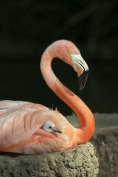 Flamingos at the San Diego Zoo Pretty Birds, Beautiful Birds, Animals Beautiful, Flamingo Art, Pink Flamingos, Flamingo Photo, Flamingo Nursery, Flamingo Wallpaper, Flamingo Painting