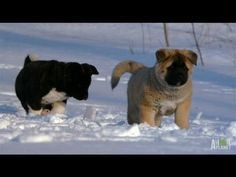 Cute and adorable Akita puppies go out to play in the snow. Akita Puppies, Akita Dog, Cute Puppies, Funny Animal Videos, Funny Animals, Cute Animals, Best Dog Food, Best Dogs, American Akita
