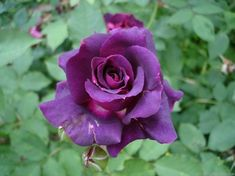 I want a purple rose bush in my rose garden - Modern Beautiful Rose Flowers, Pretty Roses, Beautiful Flowers, Rose Pictures, Rose Photos, Lavender Roses, Purple Roses, Roses For Her, Rose Perfume