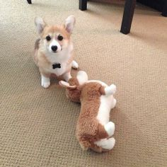 Corgi Play Date Goes Awry