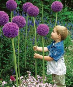 """Pflanze Allium """"Gladiator"""" Blumenzwiebeln um deinem Garten etwas Magisches zu verleihen."""