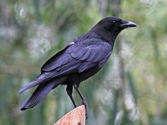 The large all-black American crow is the bird recognized by more non-bird watchers than any in North America, a ubiquitous presence in almost every habitat and corner of the continent. The Crow, Crow Photos, American Crow, Crow Bird, 5 Love Languages, Crows Ravens, Bird Drawings, Drawing Birds, Backyard Birds