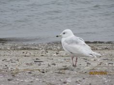 Second Phase Iceland Gull - Long Beach, Stratford, CT.