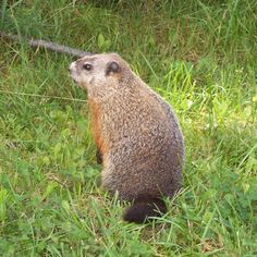 Woodchuck  Get rid of woodchucks: http://www.518gotpests.com/woodchuck-and-groundhog-removal/