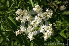 A closeup detailed macro image of elderberry flowers in full bloom.