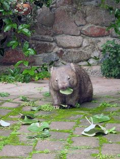 Wombats a such lovely australian creatures . . unfortunately they're often hit by cars as they're very slow moving