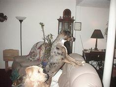 Dog profile for Kiko, a female Catahoula Leopard Dog/Beagle