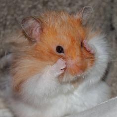 Fluffy hamster plays Peek-A-Boo Super Cute Animals, Cute Little Animals, Cute Funny Animals, Hamster Pics, Baby Hamster, Panda Kawaii, Funny Hamsters, Syrian Hamster, Cute Rats