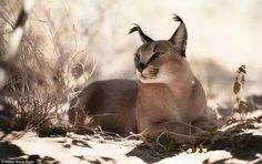 カラカル アフリカ、中東、ペルシャ(イラン)、インドに生息する中型のヤマネコ。イランやインドではかつて野鳥狩りに使われていた。耳の先端に特徴的な房毛がついているのが自慢で、砂漠のヤマネコと呼ばれる。   カラカルは極端に執着心が強く、ヤマネコの中でも非常に気難しく怒りっぽい性格なので、怒らせないほうがいいだろう。(トサカのような耳毛かっこいい!カラカル画像フォルダを充実させるの会)