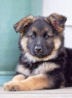 German shepherd puppy! by bridgette.jons #CuteAnimalsAndSuchLike #germanshepherd