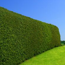 Thick branches grow out from top to bottom, making it great for screening and privacy. Plant your holly trees 4-5 ft. apart for a dense wall that blocks out neighbors and noise. Matures to about 20-30 feet tall.
