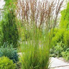 molinia - Hledat Googlem Colourful Garden, Herbs, Plants, Color, Colour, Herb, Plant, Planets, Colors