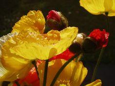 """Poppies"" photo by Rosie Kerr"