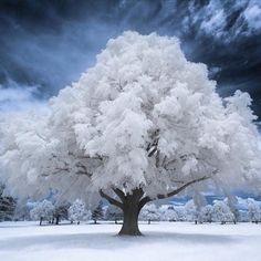 Winter Pictures, Nature Pictures, Infrared Photography, Nature Photography, Winter Szenen, Image Nature, Unique Trees, Snow Scenes, Nature Tree